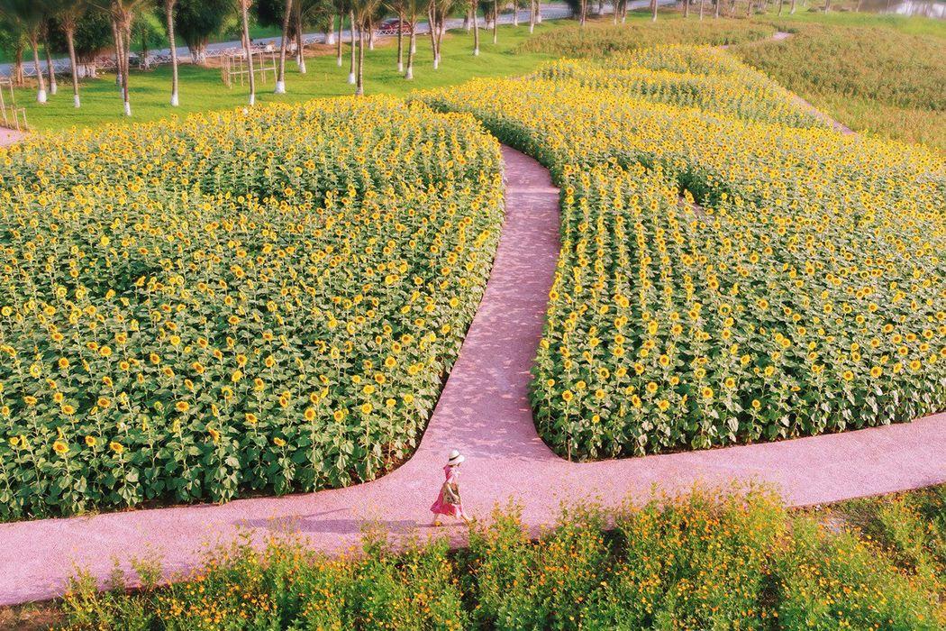 Cánh đồng hoa hướng dương Ecopark - Hưng Yên