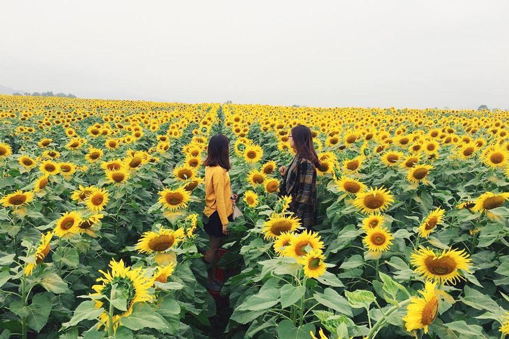 Hoa hướng dương Đông Anh
