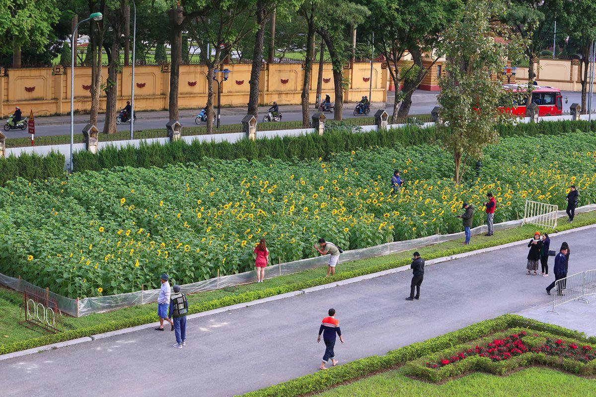 Cánh đồng hoa hướng dương ở Hà Nội