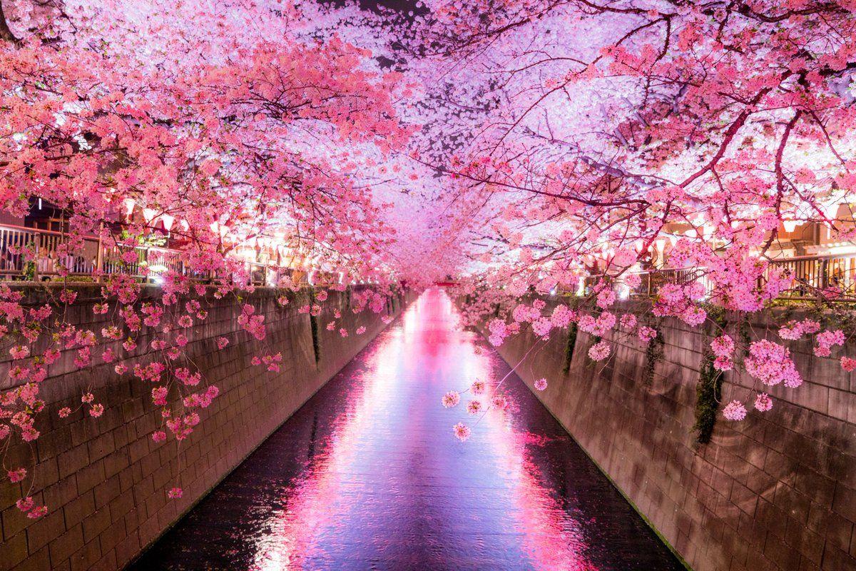 Giữa tháng 3 đến đầu tháng 4 là thời gian lý tưởng nhất để ngắm hoa anh đào ở Tokyo