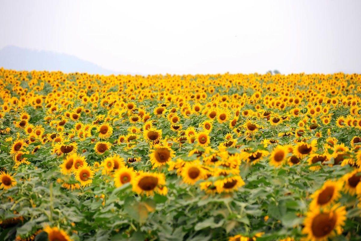 Vườn hoa hướng dương ở Bắc Ninh
