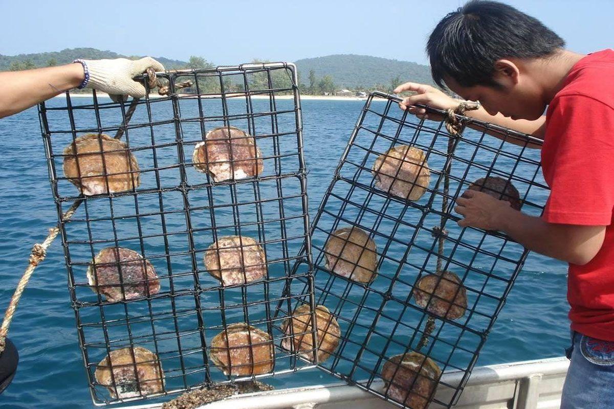 Quy trình nuôi cấy ngọc trai ở Phú Quốc