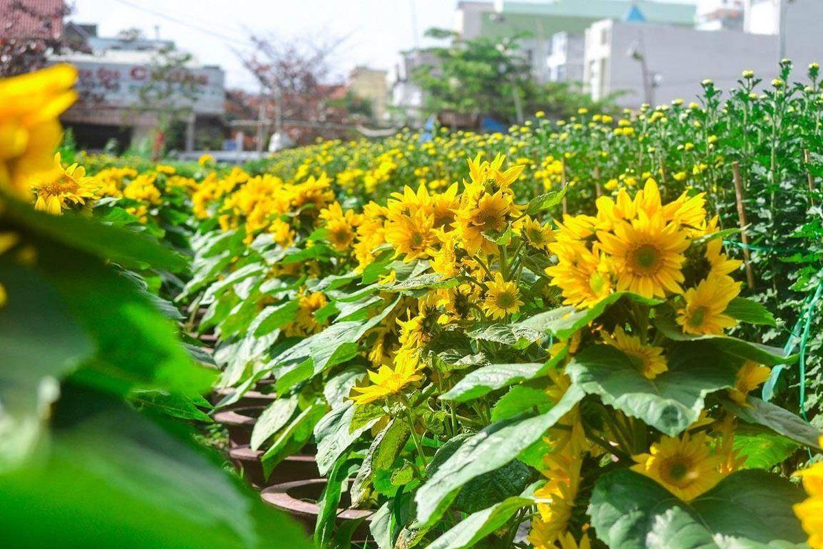 Vườn hoa hướng dương Đà Nẵng