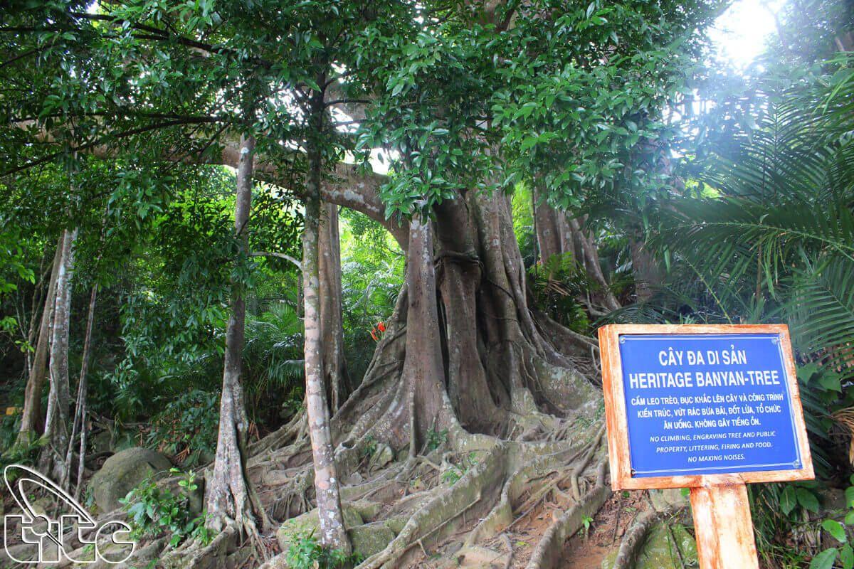 Cây đa nghìn năm tuổi