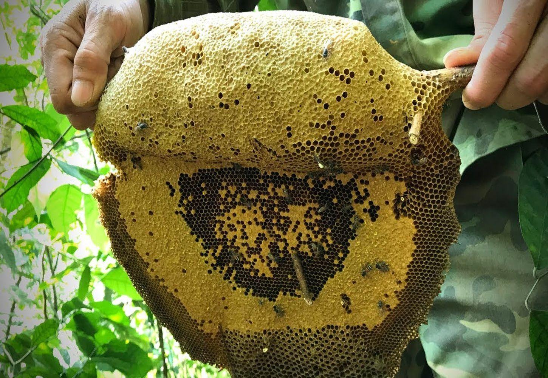 Mật ong rừng Cát Bà được thu hoạch vô cùng tự nhiên