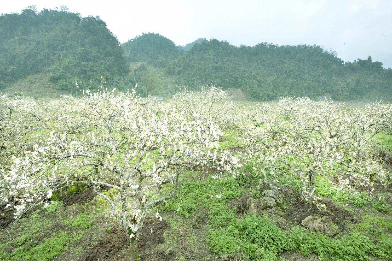 Mộc Châu là xứ sở của mận với những thung lũng hoa mận trắng xóa cả một vùng trời