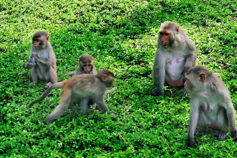 Hơn 1200 chú khỉ sinh sống tại Đảo Khỉ