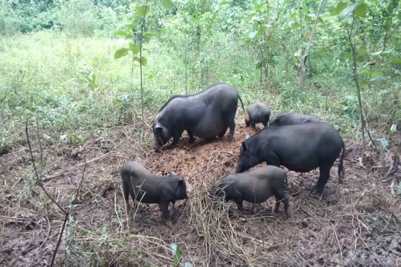 Lợn ở đây đa số đều được chăn thả