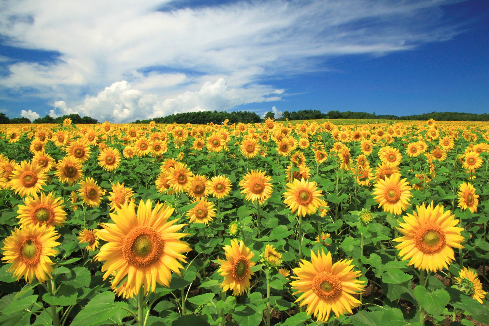 Vị trí cánh đồng hoa Hướng Dương