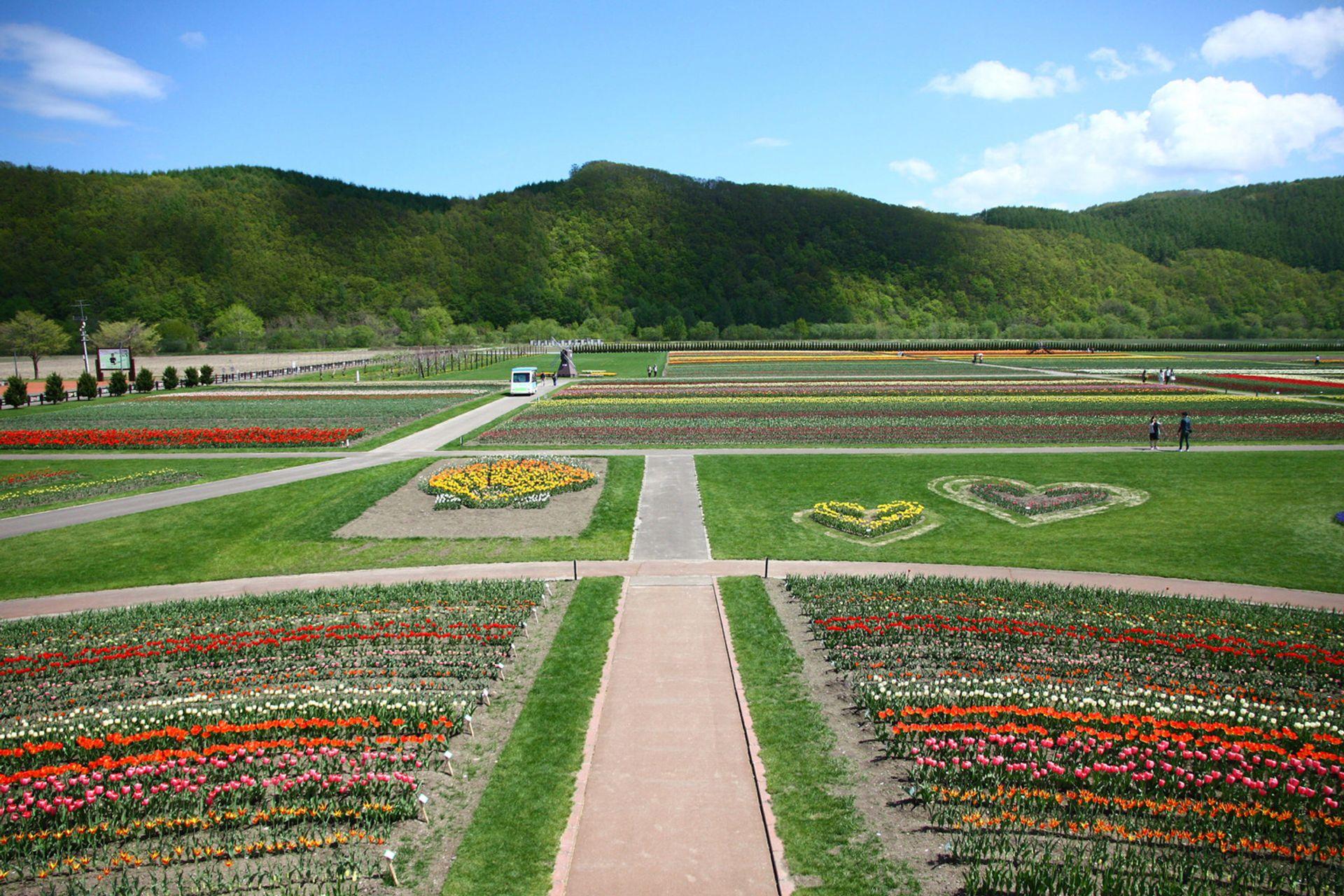 Vườn hoa Tulip Kamiyubetsu