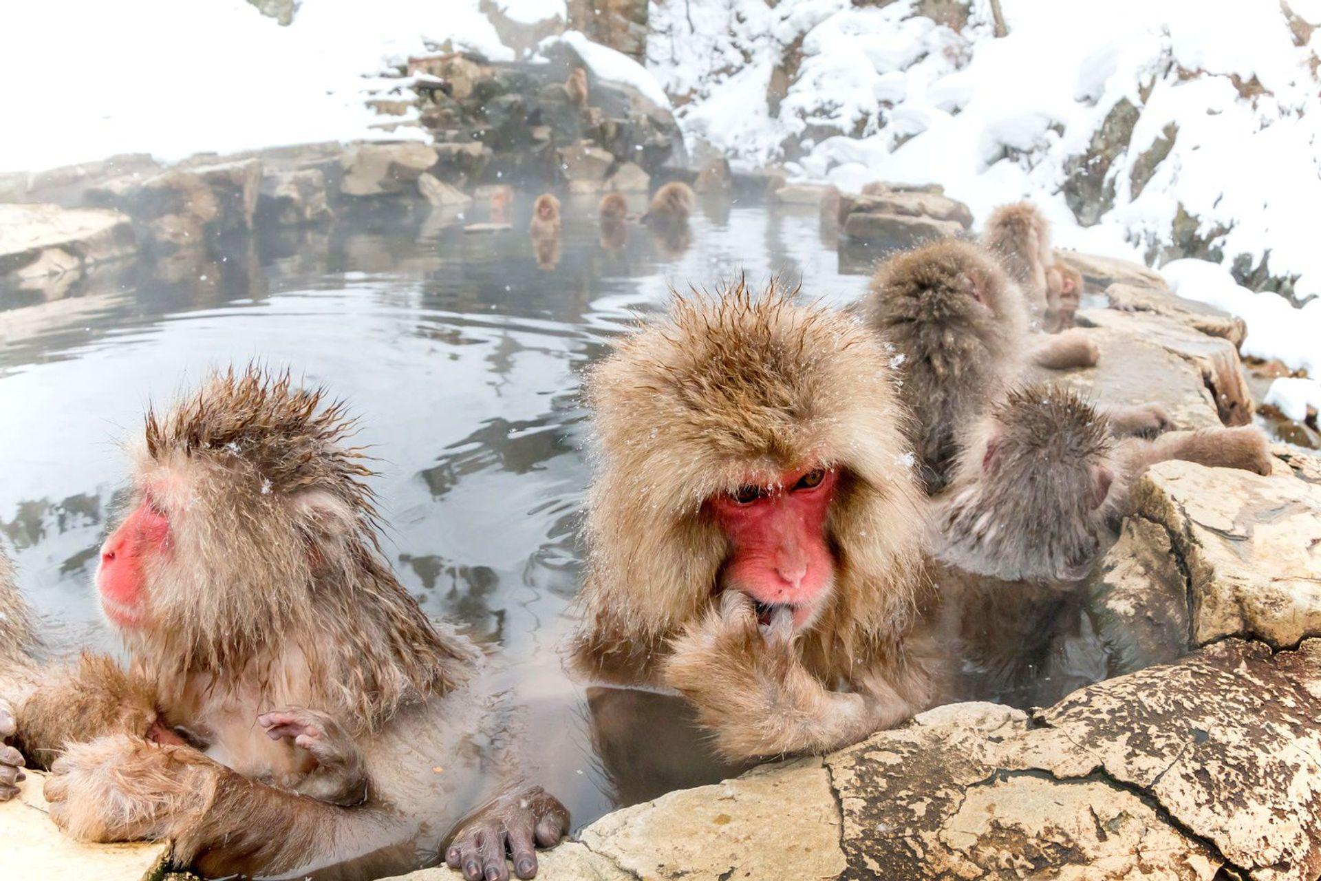Chú khỉ tuyết ở Yudanaka