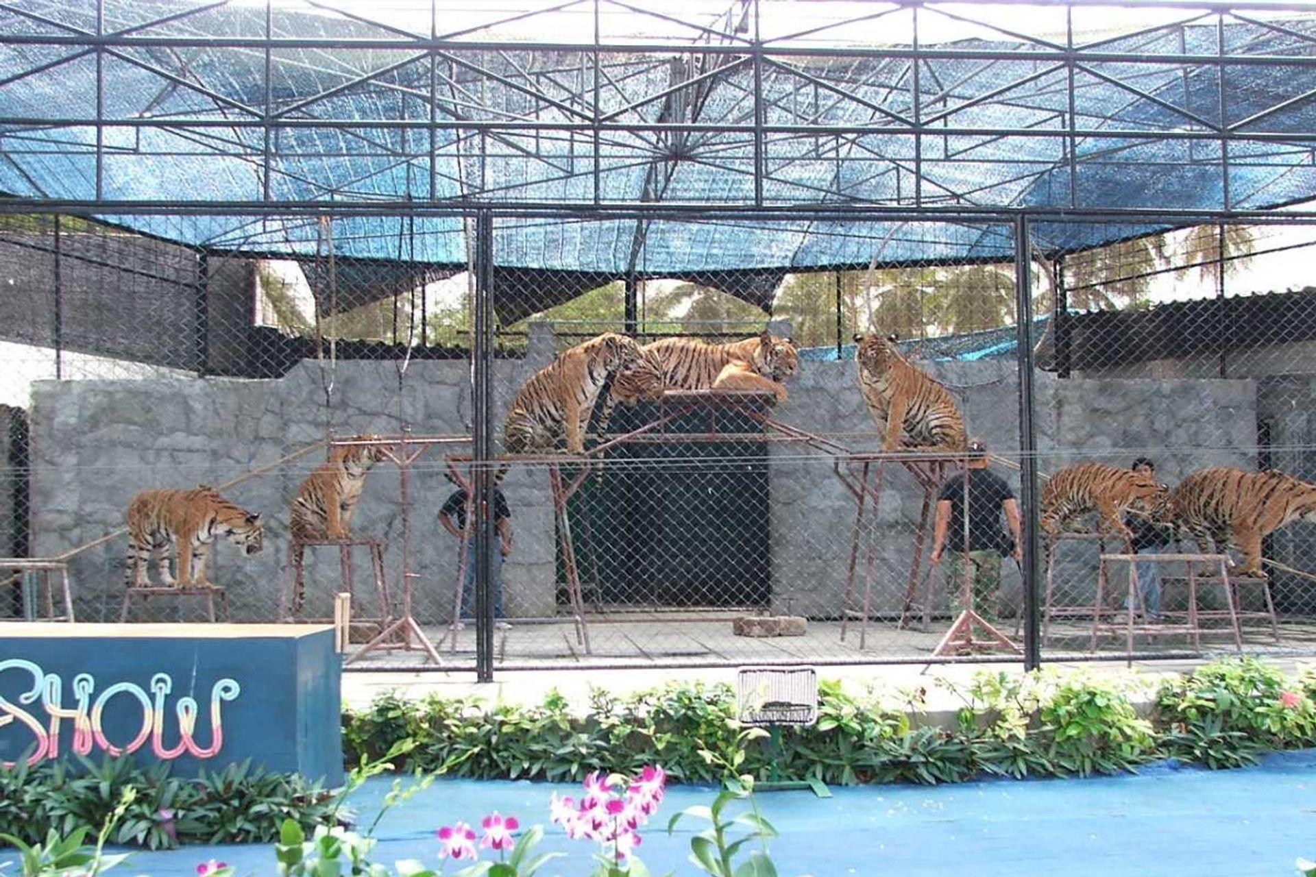 Những màn trình diễn mạo hiểm tại Samui Aquarium and Tiger Zoo