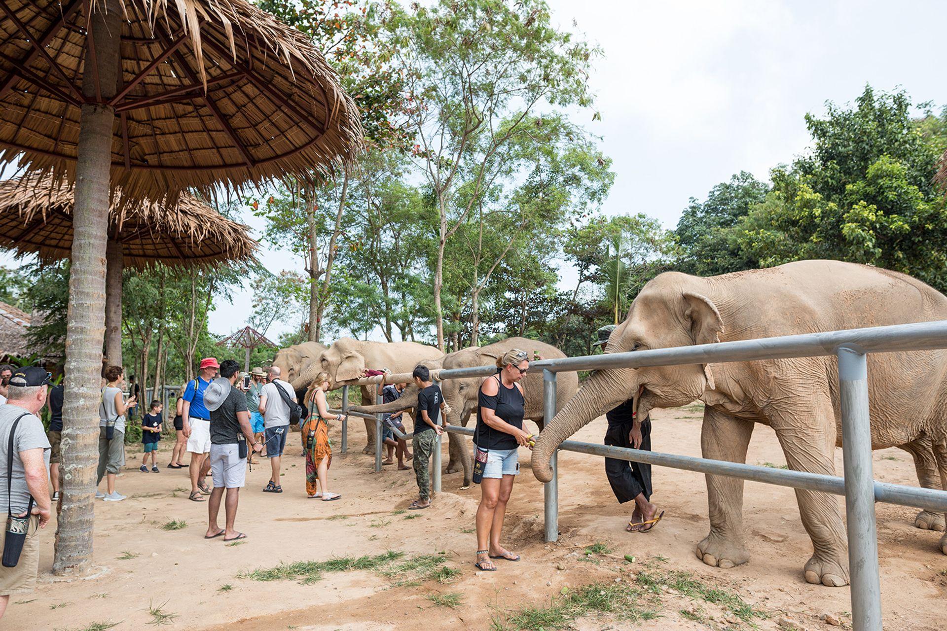 Những chú voi thân thiện tại Samui Elephant Sanctuary