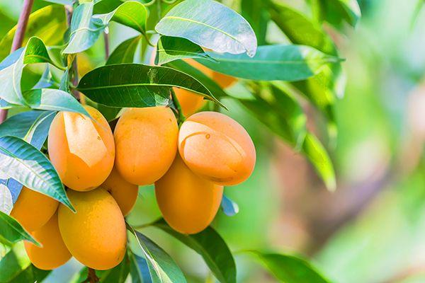 Tham quan Vườn trái cây tại xã Trung An, Củ Chi, Sài Gòn