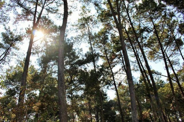 Rừng thông mang vẻ đẹp huyền bí, thơ mộng