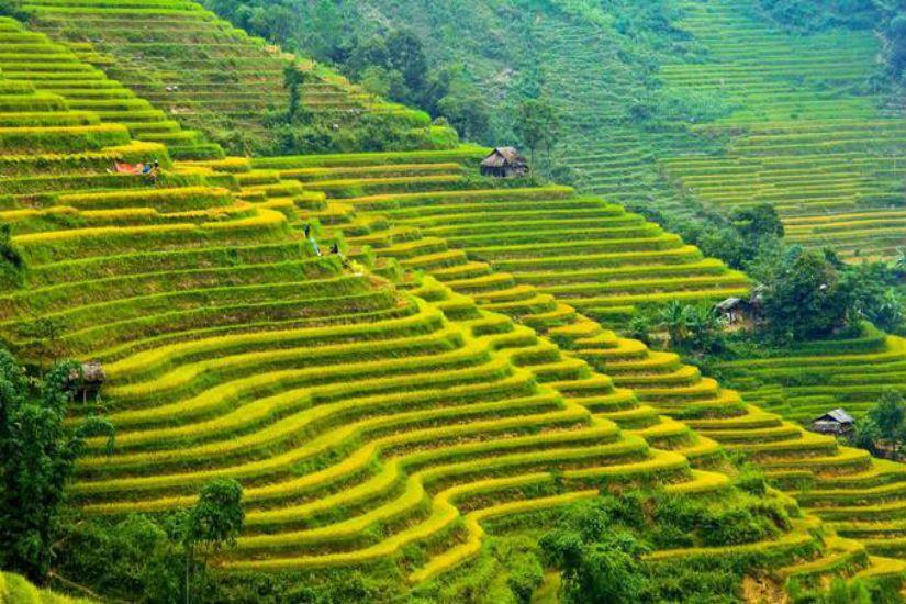 Ruộng lúa ở Hoàng Su Phì với vẻ đẹp rực rỡ